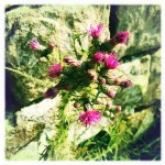 Thistle, Hadrian's Wall