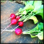 Ruby Red Radishes